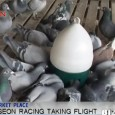 Wine, gold and art are traditional investments made by wealthy Chinese but a new and growing investment has been taking flight in recent years, racing pigeons. Carrier pigeons have been […]