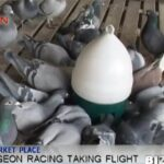 pigeon racing taking flight in china