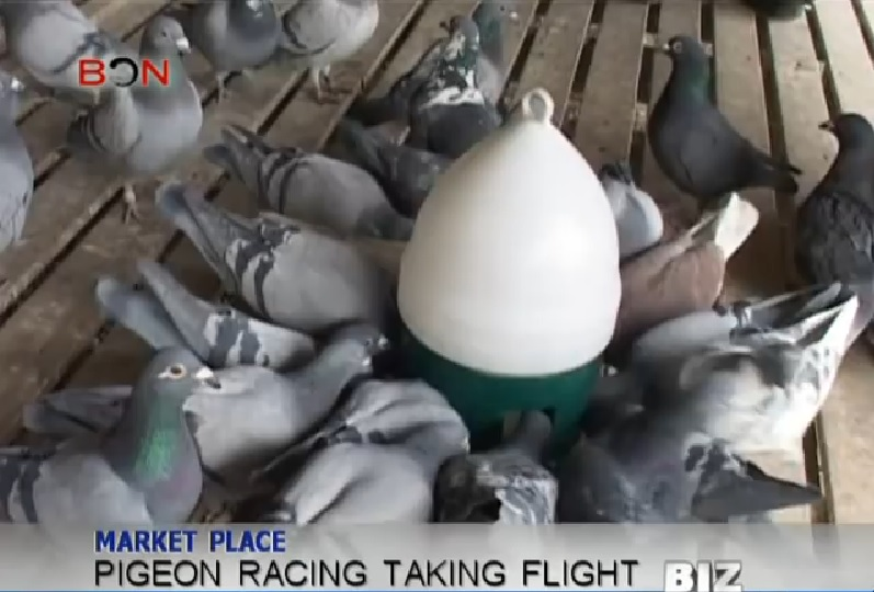 Pigeon Racing Taking Flight in China